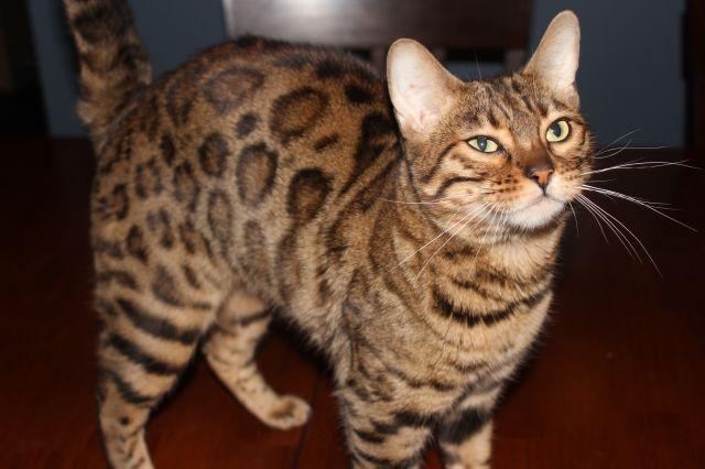 ZallyCats – Bengal Kittens